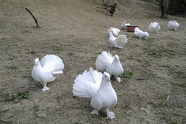 porumbei pentru nunti