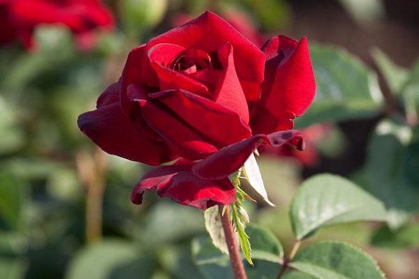 trandafir rosu perfect