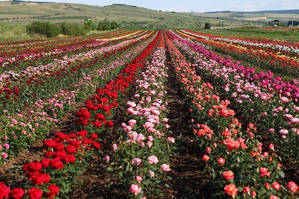 trandafiri romania