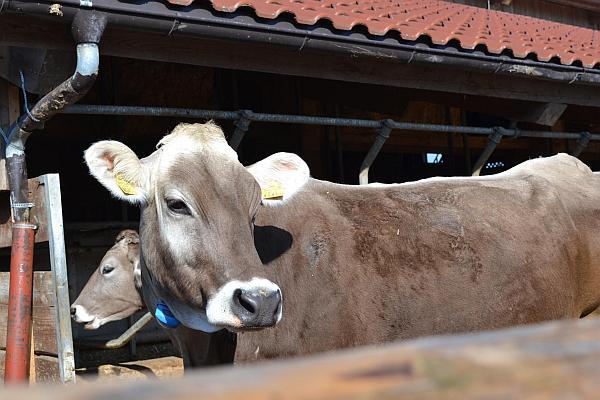 vaca-de-lapte-Austria