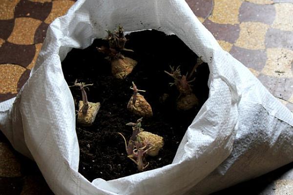cartofi incoltiti in sac