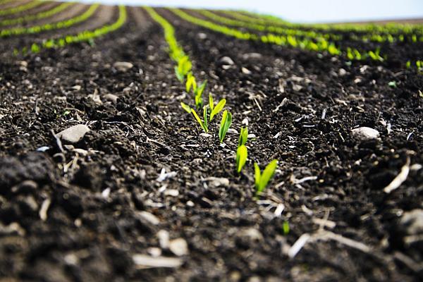 corn-emerging