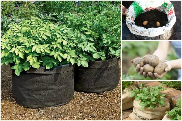 cultivarea cartofilor in saci