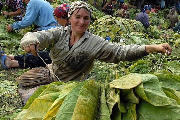 cultura tutunului in Romania