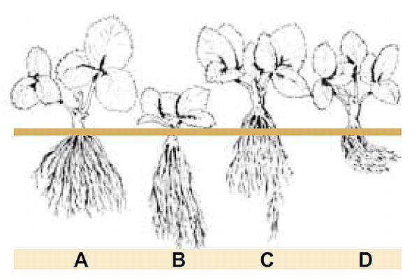 plantarea corecta a capsunului