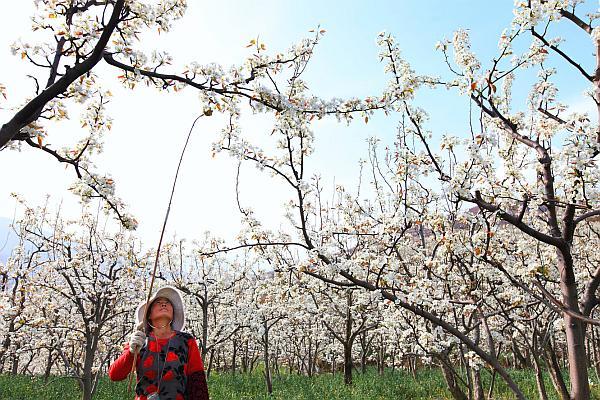 polenizare manuala aprilie