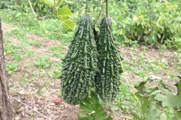 castravetele amar planta profitabila