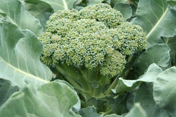 cultura de broccoli (2)