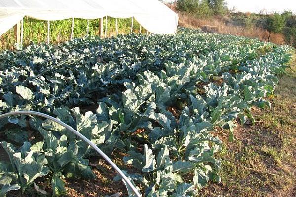 cultura de broccoli profit