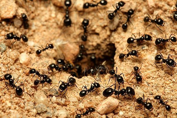furnicile de furnică