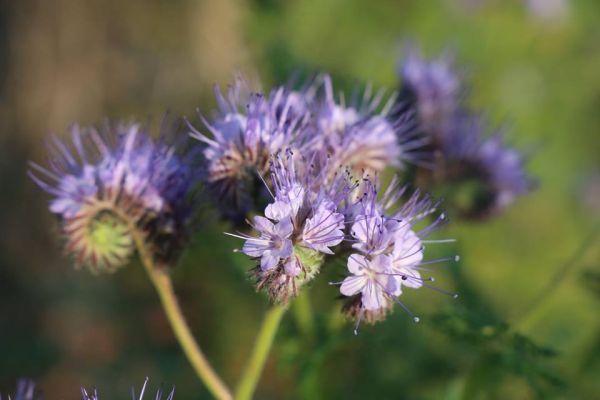 floare de facelia