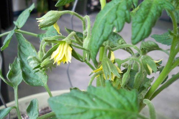 flori tomate