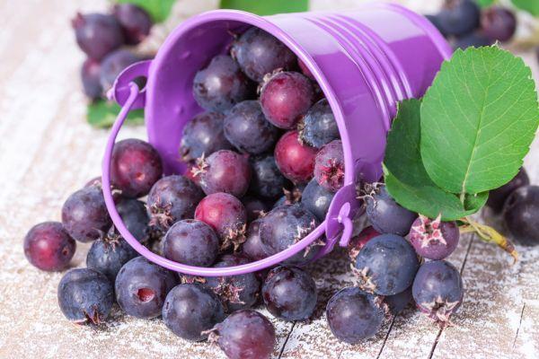 recolta de fructe de la pomul de stafide