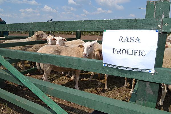 Rasa de ovine Prolific de Palas