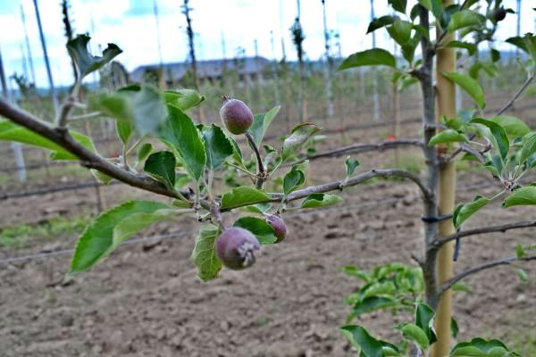 livada superintensiva productie la hectar