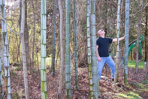 plantatie de bambus