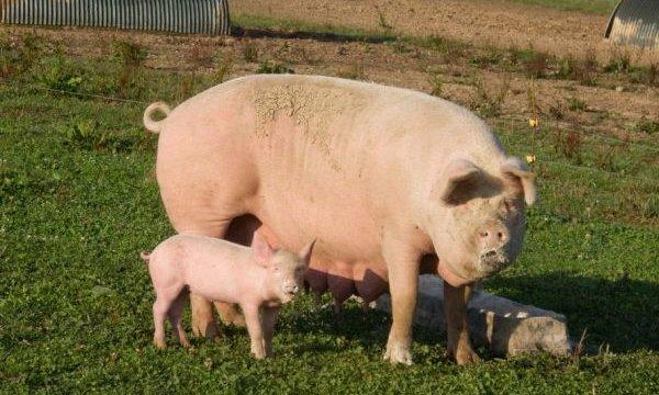 cum poate porcul meu să piardă în greutate pierderea de grăsimi în 11 zile