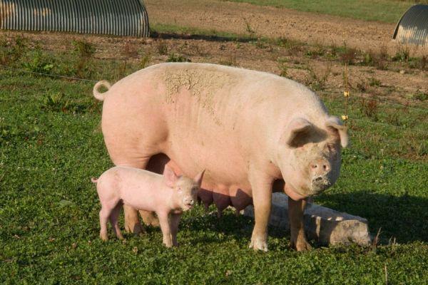 cum să faci un porc pierde în greutate)