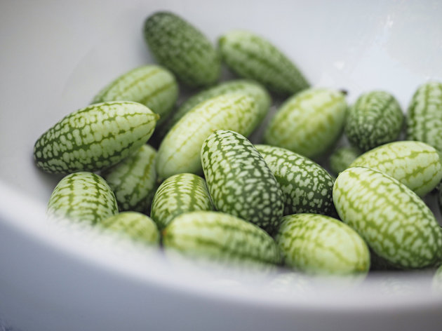 Close up of the picked Cucamelon fruits originally from Mexico that is the size of a grape,looks like a miniature watermelon and tastes like a cucumber with lime zest.