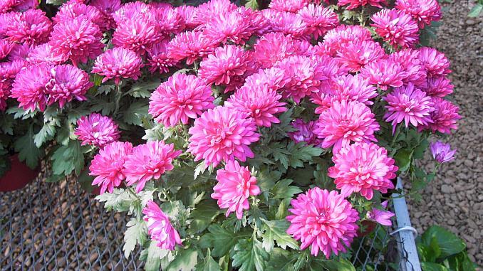 Cele Mai Frumoase Flori De Toamnă