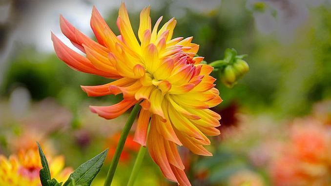 dalia floare
