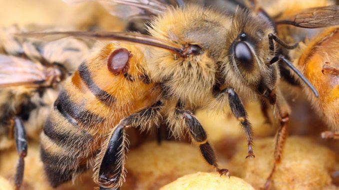 varroa-mite
