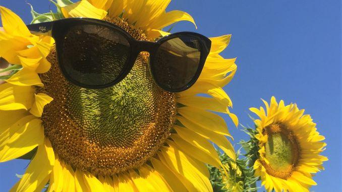 hibrizi-de-floarea-soarelui-de-la-saaten-union-romania