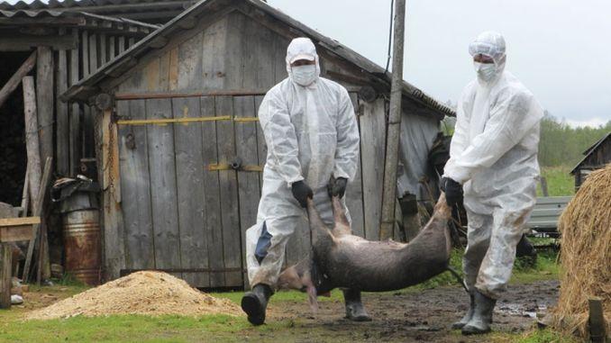Asociația Română a Cărnii – semnal de alarmă privind focarele de pestă porcină africană aflate ...