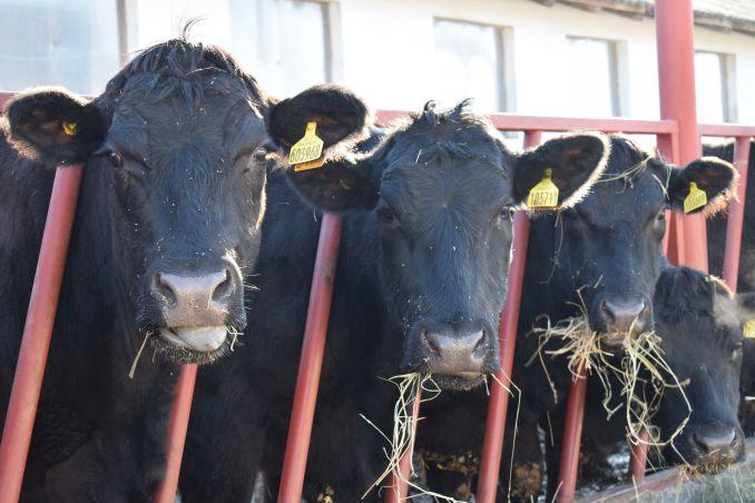 vaci de carne din rasa Angus