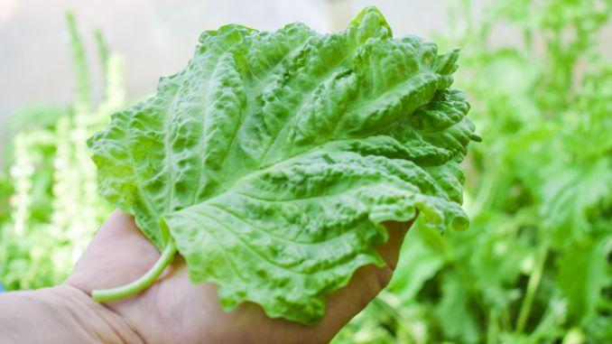 BUSUIOCUL PENTRU SALATĂ: Are frunzele cât palma și POATE FI CULTIVAT UȘOR, FĂRĂ CHIMICALE!