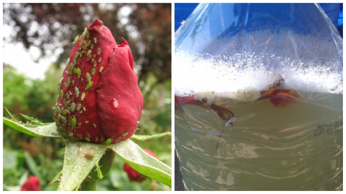cum să scapi de paraziți pe trandafiri