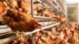 Subvenție COVID-19 pentru fermele de păsări: 100 euro/UVM, termen pentru depunerea cererilor – 20 de zile!