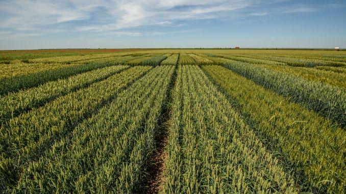 Culturi de cereale loturi Limagrain