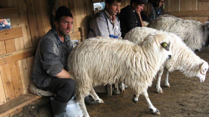 Mulsul oilor