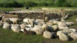Ordonanță de Urgență: Subvenție de 5 lei/ovină pentru fermele cu minim 50 de capete de animale!