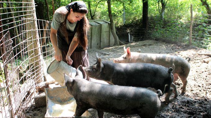 Cresterea porcilor in gospodarie