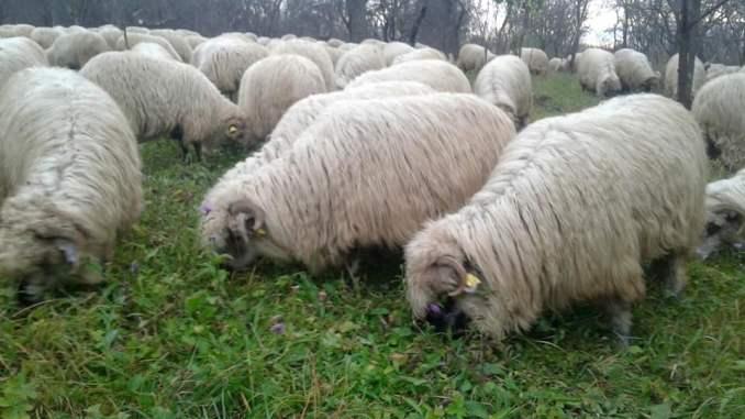 Inventar ovine Romania medici veterinari