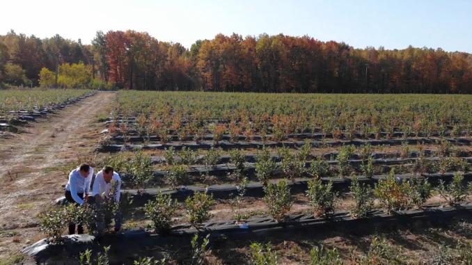 Plantati de afini Romania Merry Berry