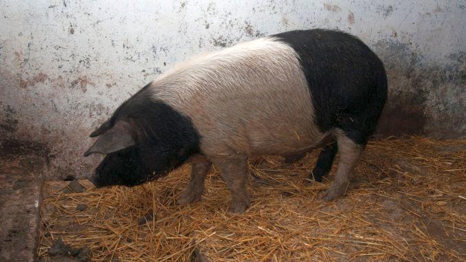 Porc din rasa Bazna