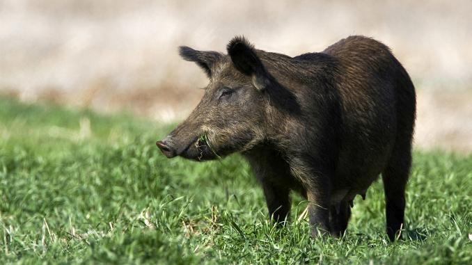 Porc mistret cu pesta porcina africana