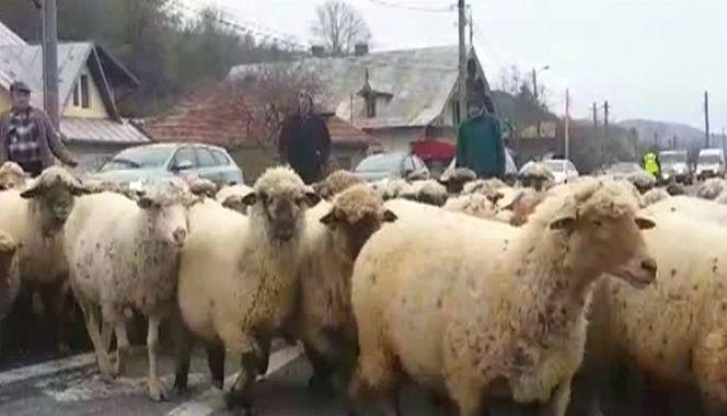 Protest ovine in strada