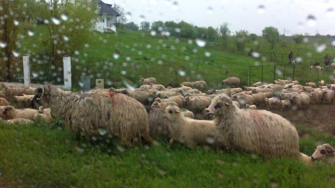 Turma de ovine export