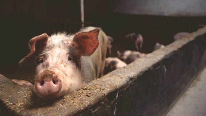 Vanzarea porcilor de Craciun acte necesare