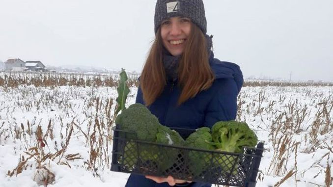 Recolta de broccoli