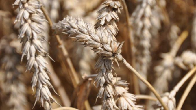 Taxarea inversa cereale