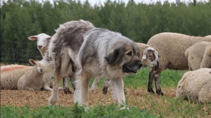 Ciobanesc caucazian la oi