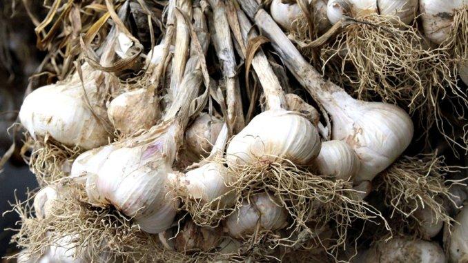 Cultivarea usturoiului