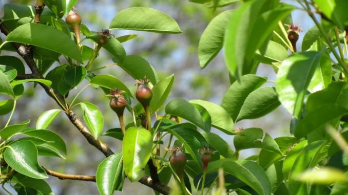 Fructe mici de par
