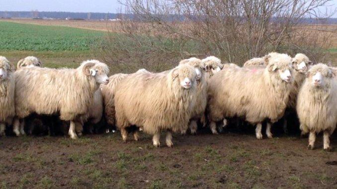 Ovine din rasa Turcana