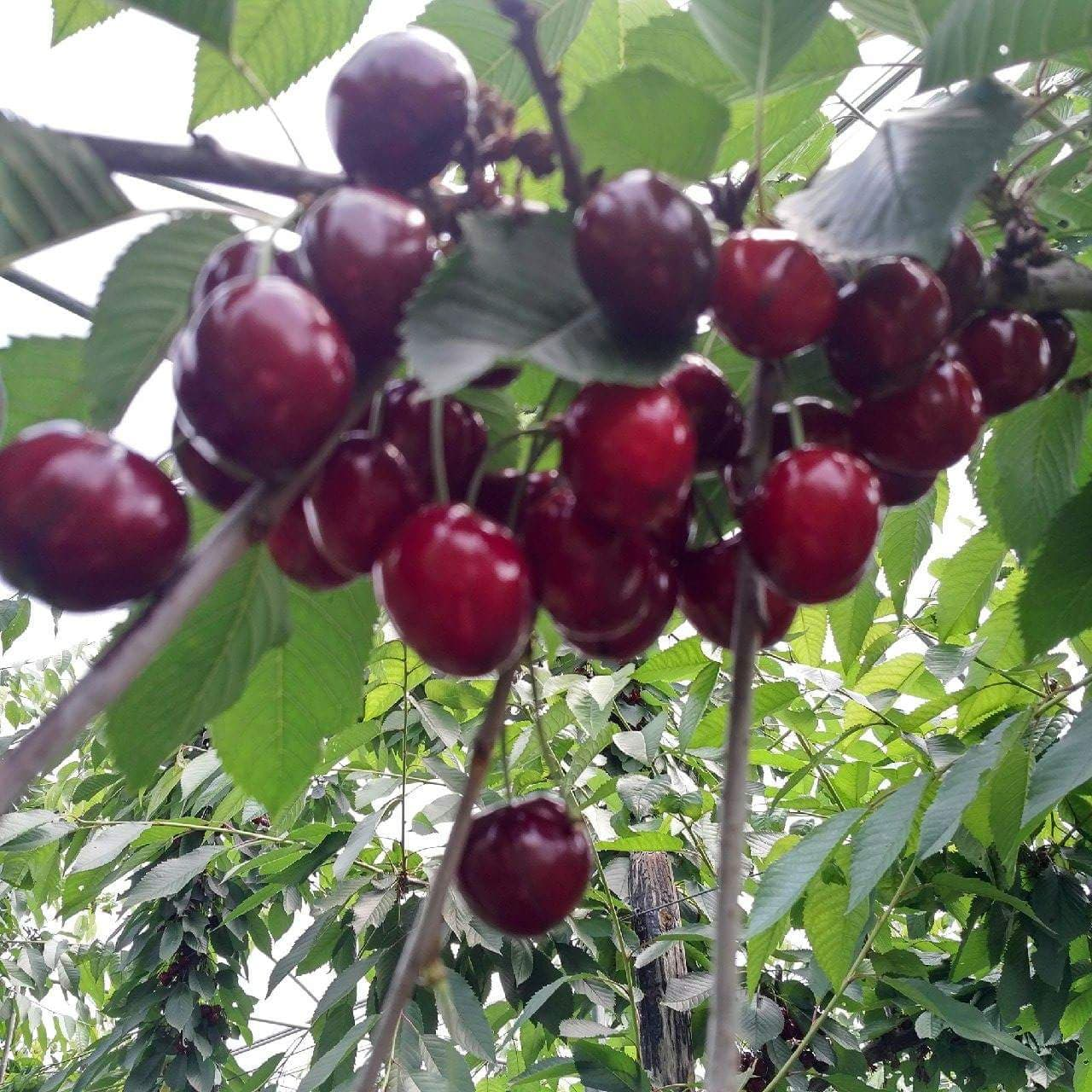 Productie de cires la hectar